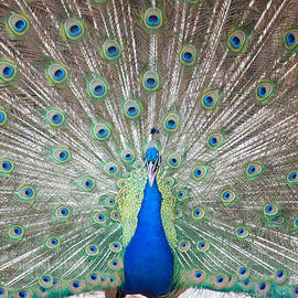 Victoria Texas Peacock Art by JG Thompson