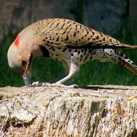 Lori Pessin Lafargue - Pecking Flicker