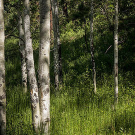 Pecos Wilderness Aspen - Pecos New Mexico by Brian Harig