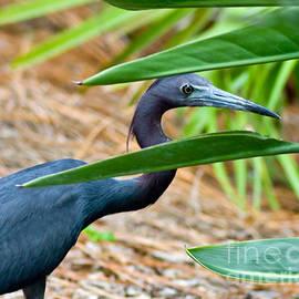 Peeking Blue Heron by Stephen Whalen