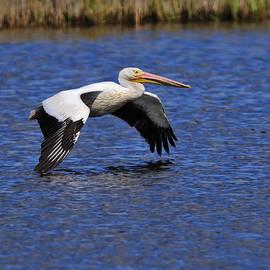 Pelican by Bill Dodsworth