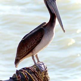 Dick Botkin - Pelican Portrait