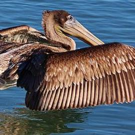 Pelican Skimming Across the Water by Paulette Thomas