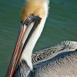 Pelican by Stephen Whalen