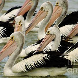 Bob Christopher - Pelicans In Australia 1