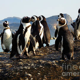 Charl Bruwer - Penguins Mountain Background Boulders Beach Cape Town