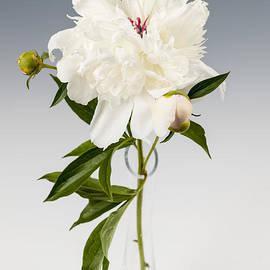 Peony flower in vase by Elena Elisseeva
