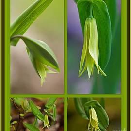 Mother Nature - Perfoliate Bellwort Wildflower - Uvularia perfoliata