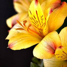 Peruvian Lily by Deb Halloran