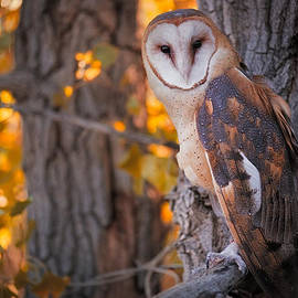 Mike Berenson - Photographing A Barn Owl On His Autumn Perch