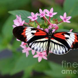 Piano Key Butterfly On Pink Penta by Sabrina L Ryan