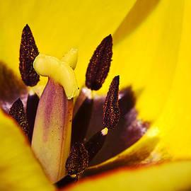 Mr Bennett Kent - Picotee yellow tulip macro close up