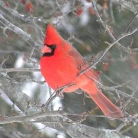 Peggy  McDonald - Picture Perfect Cardinal