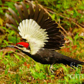 Timothy Connard - Pileated Woodpecker Midflight