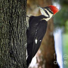 Nava Thompson - Pileated Woodpecker Posing