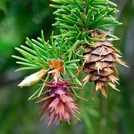 Pine Cone Stages by Robert VanDerWal