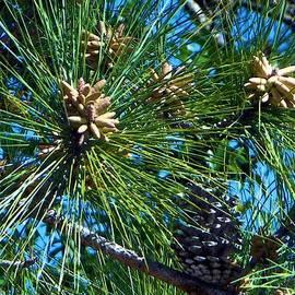Pine Cones by Ricardo J Ruiz de Porras