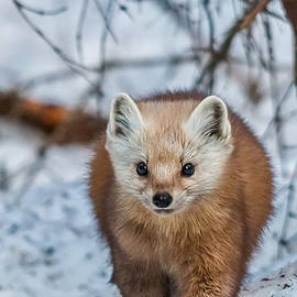Pine Marten on the Move by Steve Dunsford
