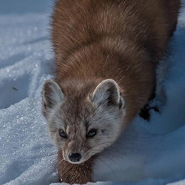 Pine Marten on the Prowl by Steve Dunsford