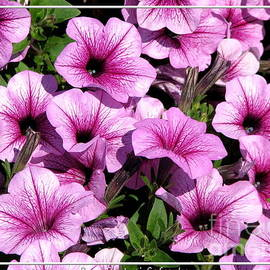 Rose Santuci-Sofranko - Pink and Purple Petunias