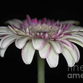 Pink And White Gerbera 4 by Steve Purnell