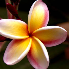 Pink and Yellow Plumeria by Brian Harig