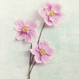 Sylvia Cook - Pink Anemone
