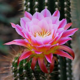 Pink Cactus Flower by Nancy Mueller