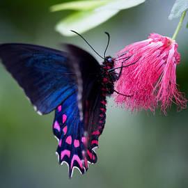 Zoe Ferrie - Pink Cattleheart Butterfly