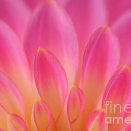 Pink Dahlia Close-up by Olivia Hardwicke