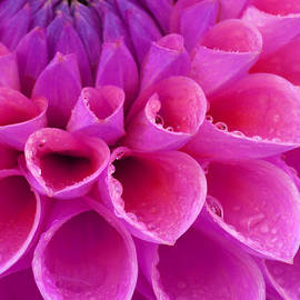Pink dahlia close-up by Rosemary Calvert