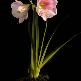 Pink Diamond Amaryllis by Claudio Bacinello