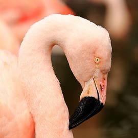 Scott Hill - Pink Flamingos