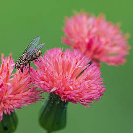 Pink Flowers Being Pollinated By A Fly by Craig Lapsley