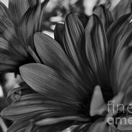 Pink Flowers in B-W  by Charles Muhle