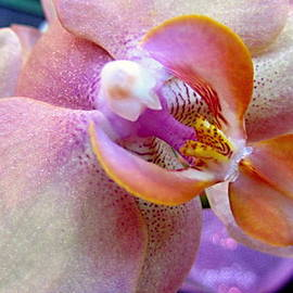 Pink Limonaid Orchids Macro by Danielle  Parent