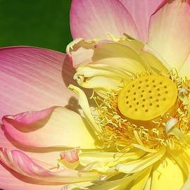 Pink Lotus by Bruce Bley