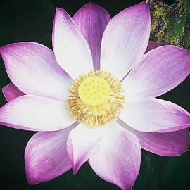 Pink Lotus Flower by Stefan Nielsen