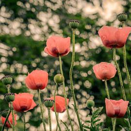Pink Poppy in late everning light by Ludmila Nayvelt