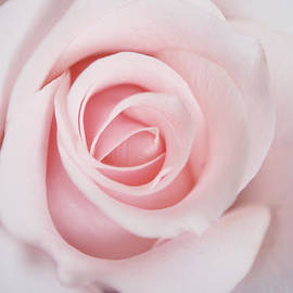 Stephanie McDowell - Pink Rose Flower