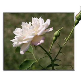 Mariarosa Rockefeller - Pink Rose