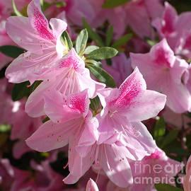 Pink Star Azaleas in Full Bloom by Connie Fox