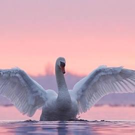 Pink Swan by Roeselien Raimond