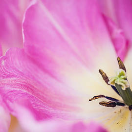 Jenny Rainbow - Pink Tulip. The Tulips of Holland