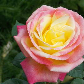 Pink Yellow Rose by Catherine Gagne