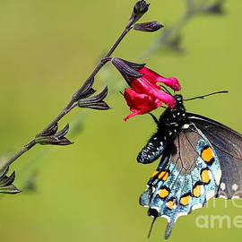 Marty Fancy - Pipevine Swallowtail