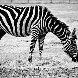 Plains Zebra by Cynthia Guinn
