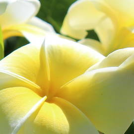 Plumeria Flowers in Sunshine by Kume Bryant