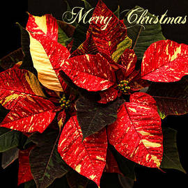 Poinsettia Christmas by Judy Vincent