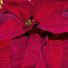 Poinsettia The Christmas Flower by Michele Avanti